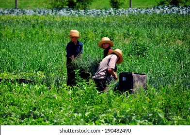 Lancaster County, Pennsylvania - June 8, 2015:  Three young Amish boys harvesting scallions in a field on the family farm  *