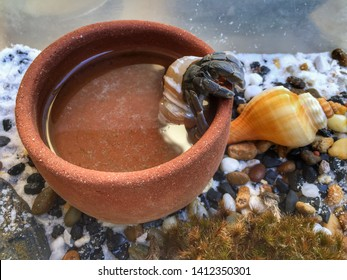 Land hermit crab drinking water in bowl