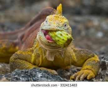 The land iguana eating prickly pear cactus. Galapagos Islands. An excellent illustration.