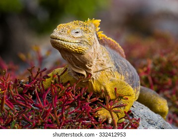 The land iguana on the stone. Close-up portrait. Galapagos Islands. An excellent illustration.