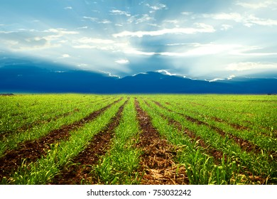 Land for planting sugarcane