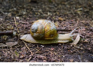 Land snail with brown coiled shell in the forest