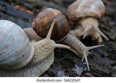 Land snails (Helix pomatia) congregate
