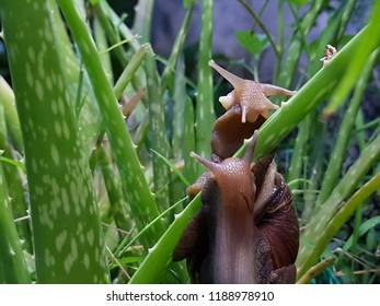 land snails on alovera leaves