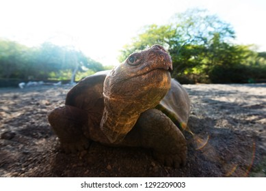 A land tortoise in a breeding center on Isabela island in the Galapagos