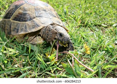 Land turtle (green grass background)