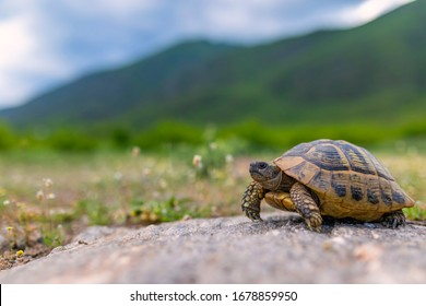 The Land turtle in its natural environment. A wild animal of Greece. The Hermanns tortoise.