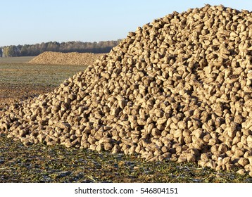 are landed in a pile of roots beets used for sugar production. Autumn season. Photo closeup. Blue sky in the background