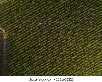 Landes Pine forest, New plantation and old, aerial view, Aquitaine, France
