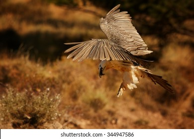Landing adult bearded vulture in full orange color plumage over dry grass in the Spanish Pyrenees
