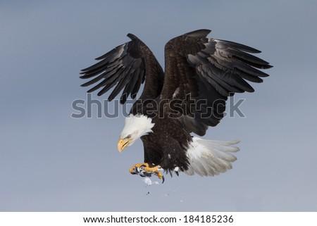 Landing Bald Eagle Homer Alaska Stock Photo (Edit Now ...