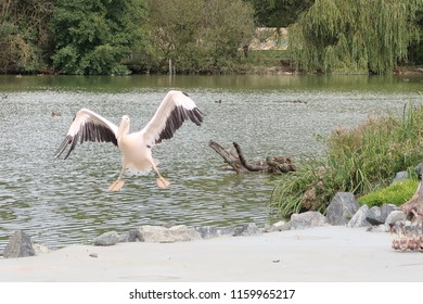 Landing great white pelicans (scientific name: Pelecanus onocrotalus) also known as the eastern white pelican, rosy pelican or white pelican