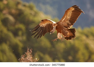 Landing Griffon Vultures Gyps fulvus with outstreched wings illuminated by the sun, distant autumn colorful Pyrenees forest as a background.