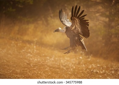 Landing Griffon Vultures Gyps fulvus in dust with outstreched wings illuminated by the sun, distant autumn colorful Pyrenees forest as a background.