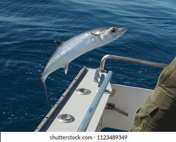 Landing a King Mackerel off of the Coast of Islamorada, Florida