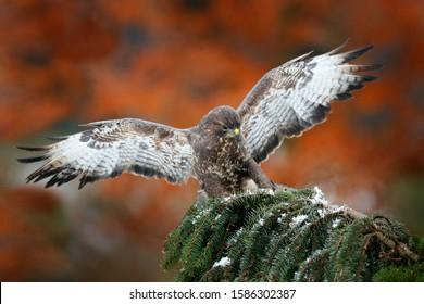Landing on spruce tree. Buzzard fly in the forest. Autumn wildlife, bird of prey Common Buzzard, Buteo buteo, flight on coniferous spruce tree branch. Wildlife scene from the nature.
