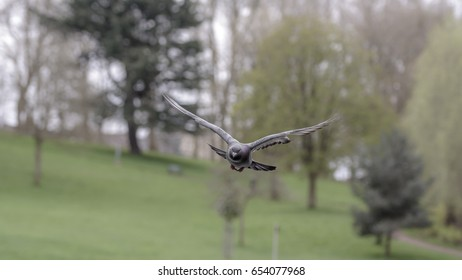 Landing Pigeon in the Park V Shallow Depth of Field