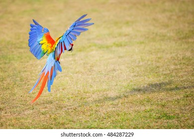 Landing scarlet macaw. Tropical parrot flying close to the ground