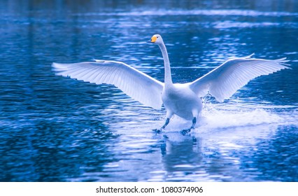 Landing whooper swan (cygnus cygnus). Photo from Kajaani, Finland.