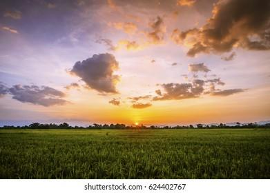 Landscap of rice field and sun set
