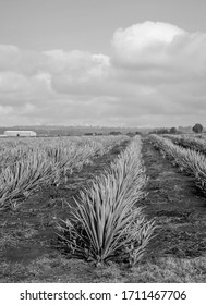 Landscape of agave plants to produce tequila. Mexico. Black and white.