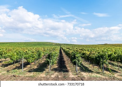 Landscape of agricultural cultivated winery fields