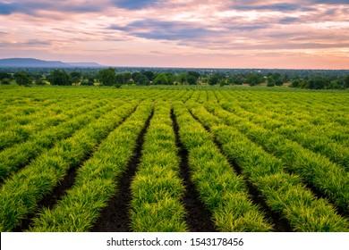Landscape of Agriculture field. Ginger (zingiber officinale) field. Ginger crop. Farming of ginger.  An agriculture background.