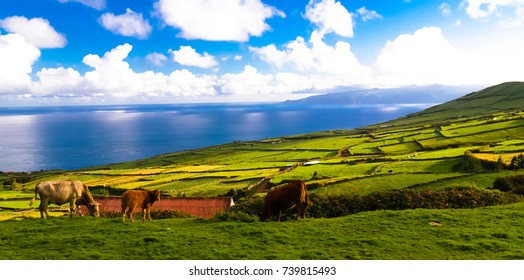 Landscape with agriculture fields with cows at Corvo island in Azores, Portugal