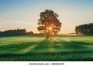 Landscape with alone oak in wheat field during sunrise