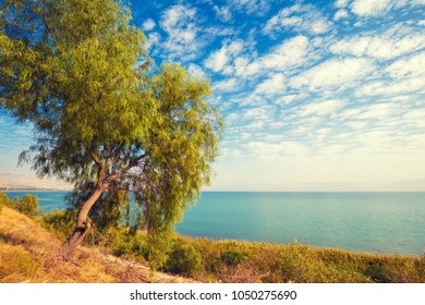 Landscape with alone tree on the shore and blue sky with clouds. Beautiful nature of Israel. Galilee Sea