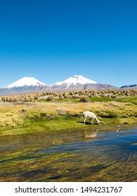 landscape of the Andes Mountains, with snow-covered volcano in the background, and a group of llamas grazing in the highlands, near of Sajama river