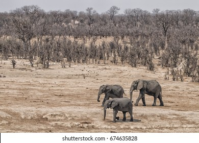 landscape with arid and browsed mopane bush land and three elephants, concept for ecocide by elephants, Hwange National Park, Zimbabwe, Africa