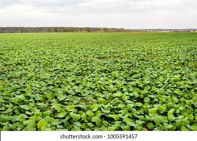Landscape with an autumn field on which grows winter rape. Late autumn on the farm field growing winter rape.