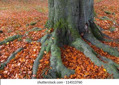 Landscape with the autumn forest. Strong roots of old trees. Autumn leaves are dry. Lonely beautiful autumn tree.