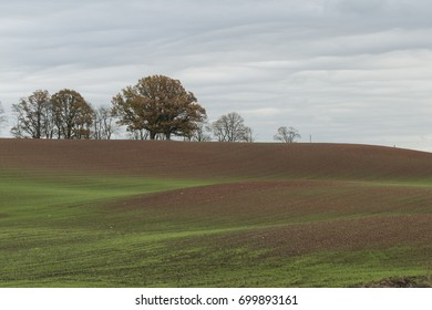 Landscape in autumn with green wheat sprouts on agriculture field and background with oak trees
