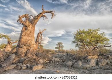 landscape with Baobab trees and rocks, Kubu Island, Makgadikgadi Pans National Park, Botswana. Africa