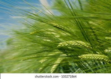 Landscape of Barley Field in early Summer