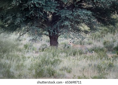 Landscape with beautiful African Leopard, Panthera pardus, walking in early morning Kalahari. Leopardess in typical Kgalagadi environment under tree on dune covered in grass.Kgalagadi, South Africa.
