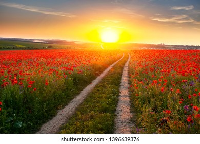 Landscape of beautiful red blossom poppy flower field on sunset.