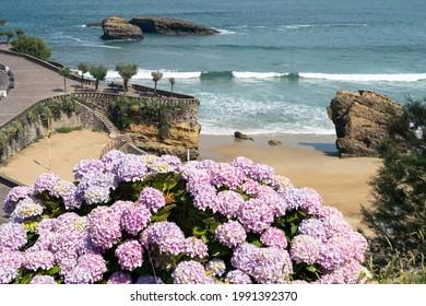 Paysage de Biarritz avec une hydrangée au premier plan et la mer en arrière-plan. France.