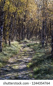 The landscape with a birch forest and a path in autumn. Northern Sweden