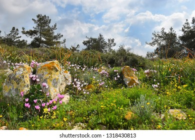 landscape with blooming cyclomenes in a forest glade, spring flowering in the Lower Galilee, Israel