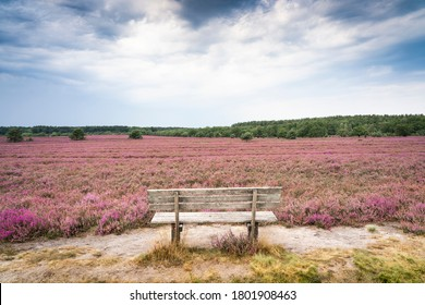landscape with blooming erica and juniper bushes in the Luneburg heather near Wilsede Mountain, Niedersachsen, Germany, landscape