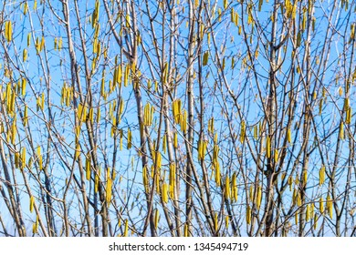 Landscape with blossom catkins of hazel