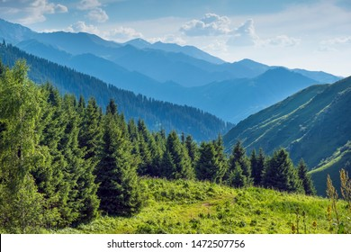 Landscape, Blue mountains in a haze above a young spruce forest