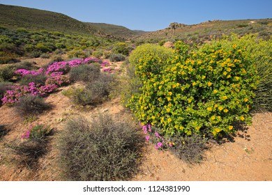 Landscape of brightly colored wild flowers, Namaqualand, Northern Cape, South Africa