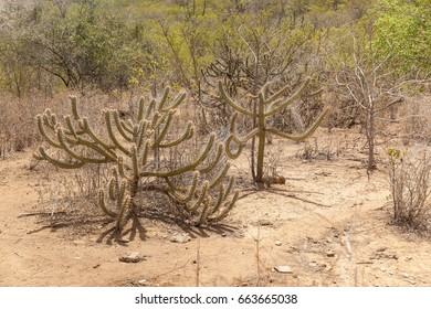 Landscape of caatinga biome, with its typical plants