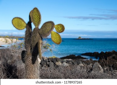 Landscape of Cacti and Pacific Ocean on the Island of Fernandina in the Galapagos Islands (Ecuador)