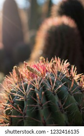 Landscape of Cactus plant  in the desert. Close up thorns.