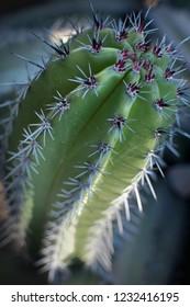 Landscape of Cactus plant  in the desert. Close up thorns. Defocus.